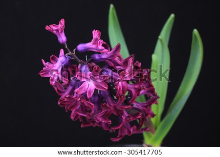 Hyacinth , isolated on black backgroung - stock photo