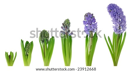 Hyacinth isolated on white background.Stages of growth. - stock photo