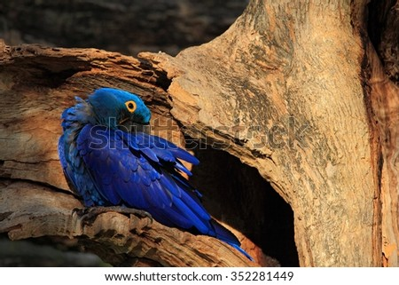 Hyacinth Macaw, Anodorhynchus hyacinthinus, big blue parrot  in tree nest hole cavity, Pantanal, Brazil, South America - stock photo