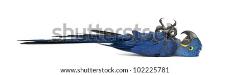 Hyacinth Macaw, Anodorhynchus hyacinthinus in front of white background