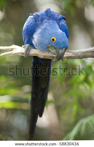 Hyacinth macaw playing in tree, pantanal, brazil, blue bird parrot - stock photo