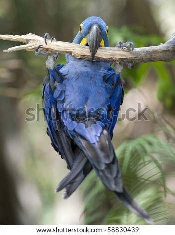 Hyacinth macaw playing in tree, pantanal, brazil, south america, exotic blue bird parrot in tropical jungle rainforest - stock photo