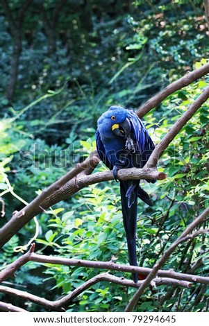 Hyacinth Macaw. The Hyacinth macaw is listed as an endangered species due to loss of habitat and collection for the illegal pet trade. Extreme shallow depth of field with selective focus on macaw. - stock photo