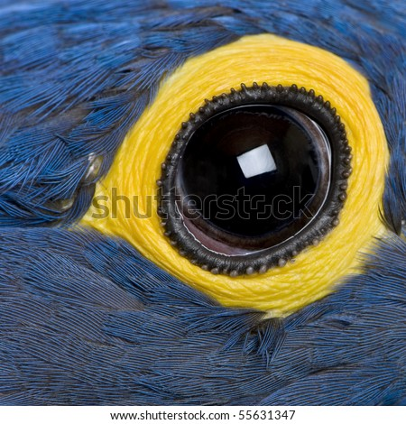 Hyacinth Macaw, 1 year old, close up on eye - stock photo