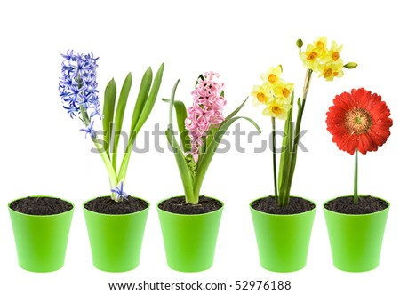 Hyacinth, narcissus,  gerbera  flower  in a green pot isolated over white  background - stock photo