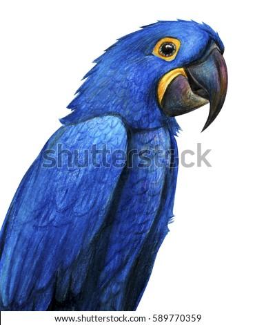 Blue Macaw Drawing Blue Brazilian Parrot ...
