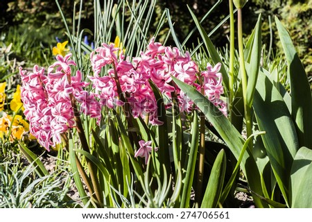Hyacinths blooming in the spring garden, floral nature background - stock photo