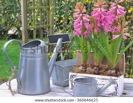 hyacinths flowering in garden on garden table with watering cans - stock photo
