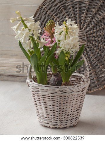 Hyacinths for of accelerated flowering in white basket on a background of wicker round - stock photo