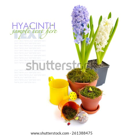 Hyacinths planted in pots on a white background - stock photo