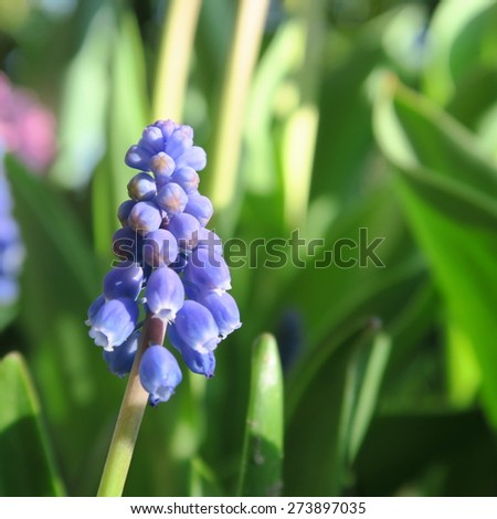 Hyacinthus, in the color blue flowers in spring