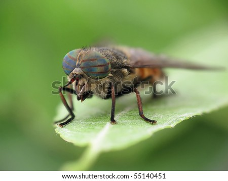 Hybomitra horse fly on leaf