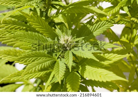 hybrid cannabis sativa and indica pant growing with natural light - stock photo