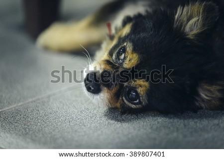 Hybrid Chihuahua and Pomeranian sleeping - stock photo
