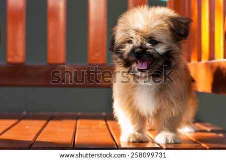 Hybrid dog, cross-breed, Pomeranian + Shih tzu - stock photo