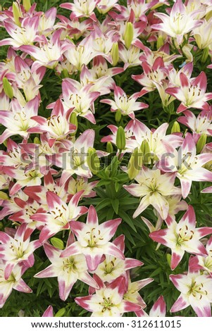 Hybrid lilies with reddish pink brush strokes at the ends of white petals, with some flowers yet to bloom, mid June, northern Illinois - stock photo