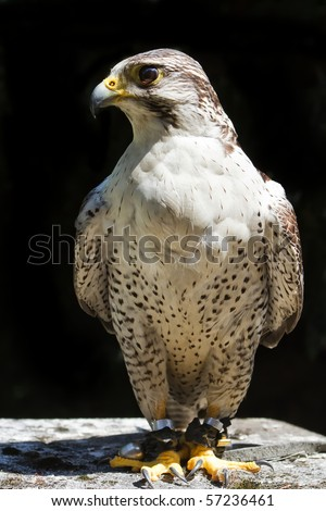hybrid Saker Falcon and Peregrine Falcon on a dark background - stock photo