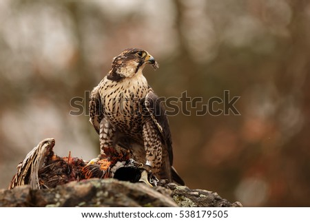 hybrid Saker Falcon and Peregrine Falcon with prey