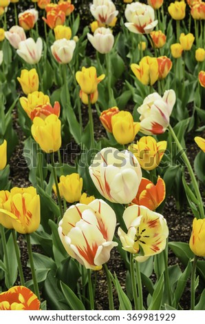 Hybrid spring: Several varieties of tulip together in an ornamental garden bed (foreground focus) - stock photo