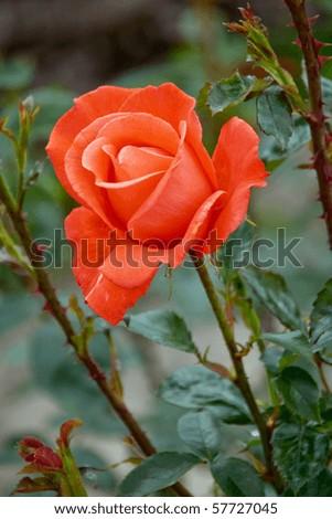 Hybrid tea rose Alexander rose - stock photo
