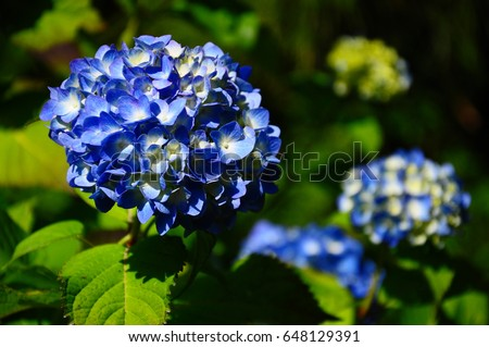 https://thumb7.shutterstock.com/display_pic_with_logo/167494286/648129391/stock-photo-hydrangea-648129391.jpg