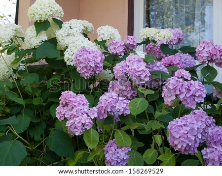Hydrangea arborescens annabelle white and violet