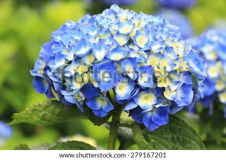 Hydrangea,Big-leaf Hydrangea,Laurustinus,beautiful blue with yellow flowers blooming in the garden in summer  - stock photo
