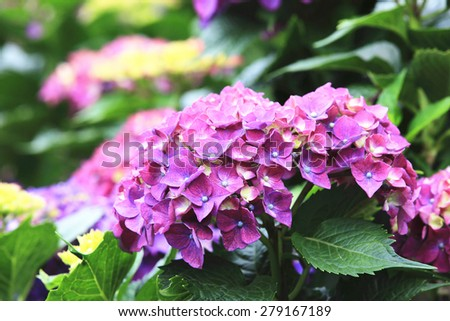 Hydrangea,Big-leaf Hydrangea,Laurustinus,beautiful purple with yellow flowers blooming in the garden in summer  - stock photo