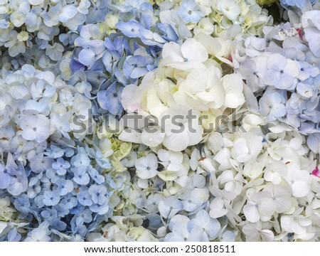 Hydrangea blue and white  - stock photo