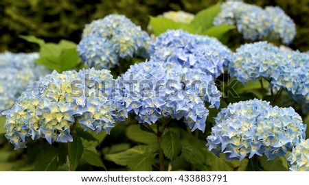 Hydrangea bush in bloom
