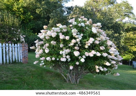 Hydrangea bush in full bloom during the late summer