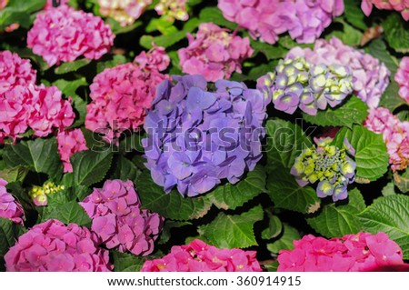 Hydrangea field in Winter Flower Festival in  the north of Thailand.