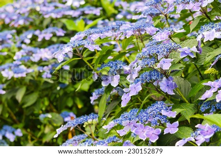 Hydrangea flower - stock photo
