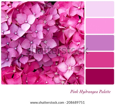 Hydrangea flower background colour palette with complimentary colour swatches - stock photo
