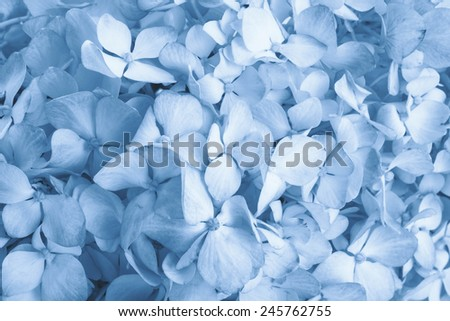 hydrangea flower background toned blue photograph - stock photo