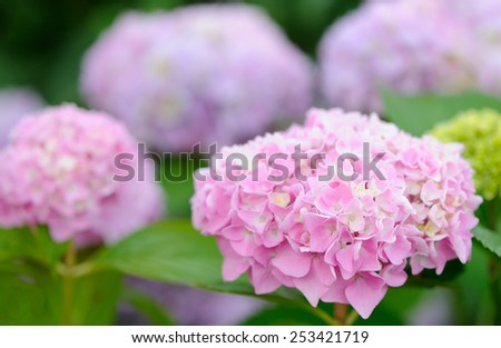 Hydrangea Flowers Growing in the Garden  - stock photo