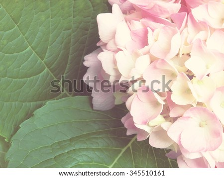 hydrangea flowers - Hydrangea arborescens - shallow depth of field; vintage filter effect - stock photo