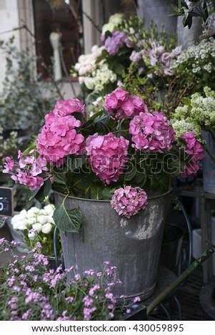 hydrangea flowers in crimson, buckets pots in a wooden box - stock photo