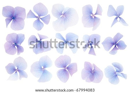 Hydrangea flowers isolated on white - stock photo