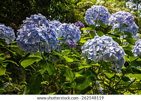 Hydrangea flowers, tropical Botanical Garden in Funchal, Madeira island, Portugal - stock photo