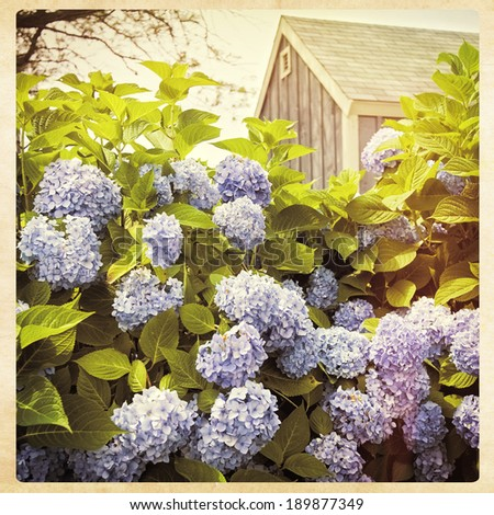 Hydrangea flowers with a small blue cottage in the background, instagram style filter - stock photo