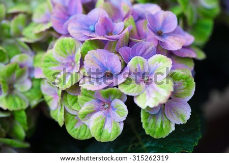 Hydrangea in bloom - stock photo