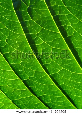 Hydrangea leaf - stock photo