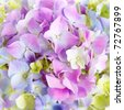 Hydrangea macro - stock photo