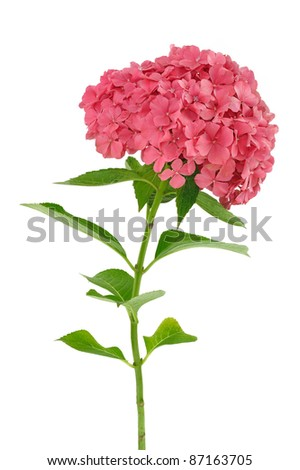 Hydrangea macrophylla  flower  isolated on white background - stock photo