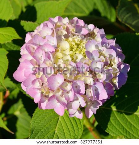 Hydrangea macrophylla is species of flowering plant in family Hydrangeaceae - stock photo