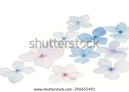 Hydrangea petals on white background