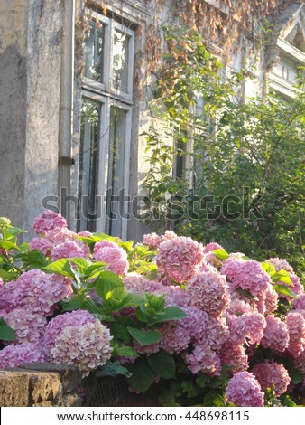 Hydrangea pink flowers on fence of old house in sunset light