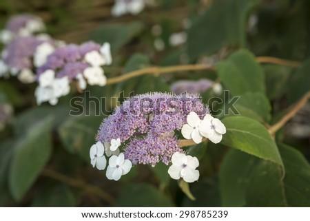 Hydrangea sargentiana flower in a garden - stock photo