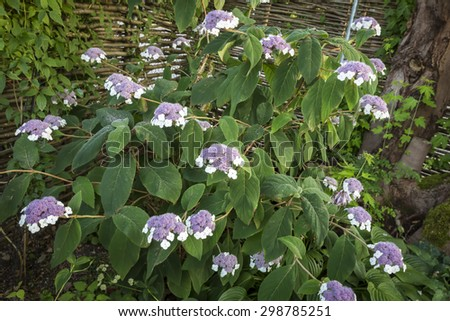 Hydrangea sargentiana flower in a garden - stock photo